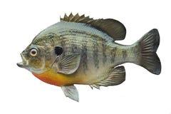 Sunfish della specie di lepomide isolato su bianco Fotografie Stock