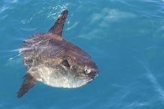 Sunfish in den realen Seenatur Mola Mola Luna-Sonnefischen Lizenzfreie Stockfotografie