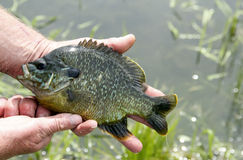 Sunfish in hand Stock Images