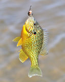 Sunfish On  Hook Stock Photo