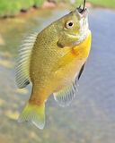 Sunfish On A Hook Stock Image