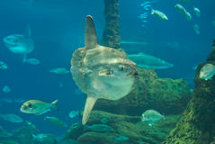 Sunfish Royalty Free Stock Images