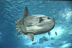 Sunfish Stock Photography