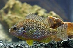 Sunfish, Pumpkinseed, lepomisgibbosus Stock Afbeelding