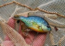 Sunfish pumpkinseed variopinto in una rete del pesce Fotografie Stock Libere da Diritti