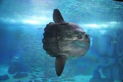 The Sunfish Stock Photos