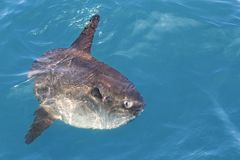 Sunfish in real sea nature mola mola luna sun fish Royalty Free Stock Photography