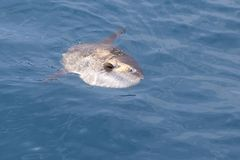 Sunfish in real sea nature mola mola luna sun fish Stock Image