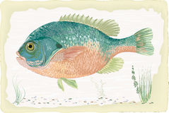 Sunfish. Vector sunfish on retro style background Stock Photo