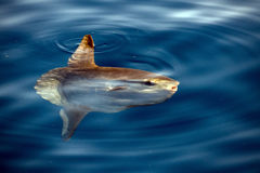 Sunfish underwater while eating jellyfish Royalty Free Stock Photography