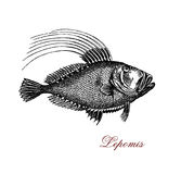 Sunfish XIX century engraving. Vintage engraving of lepomis or sunfish, freshwater fish widely distributed throughout the lakes and rivers of North America Royalty Free Stock Photo