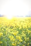 Sunflair в поле рапса Стоковые Фотографии RF