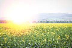 Sunflair в поле рапса Стоковое Изображение