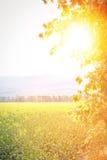 Sunflair в поле рапса Стоковые Фото