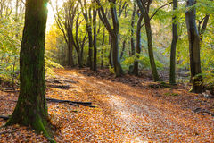 Sunflair on footpath at forest in autumn season, netherlands Royalty Free Stock Image