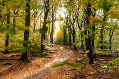 Sunflair on footpath at forest in autumn season, netherlands. Sunflair on footpath in forest covered with fallen beech leaves in autumn season, netherlands Stock Images