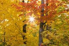 Sunflare Through Autumn Maples in Northern Minnesota Royalty Free Stock Images