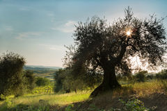 Sunflare in olive tree Royalty Free Stock Image