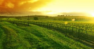 Sunflare Vineyard. Sunrise over the Vineyard in the Barossa royalty free stock photos