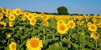Sunfllower领域在法国 免版税库存图片