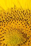 sunflovers stamens изображения clouseup Стоковые Изображения RF