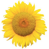 Sunflowe Stock Photography