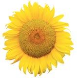Sunflowe Stock Photography
