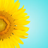 Sunflowe Royalty Free Stock Images