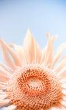 Sunflowe Stock Photo