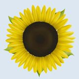 Sunflower–Autumn Sun. Sunflower illustration or design element stock illustration