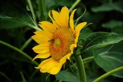 Sunflower 向日葵 stock image