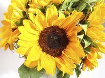 Sunflower. Photo of Sunflower stock photography
