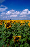 Sunflower 1. Francia - Champagne field of sunflower Royalty Free Stock Images