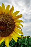 Sunflower 1 Royalty Free Stock Photography