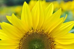 Free Sunflower Royalty Free Stock Photography - 100045527