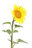 Sunflower. A view of a single sunflower against white background royalty free stock images