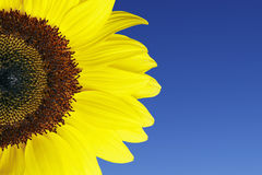 Sunflower. In front of blue summer sky stock image