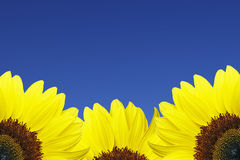 Sunflower. In front of blue summer sky stock photos