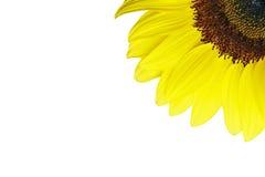 Sunflower. In corner white background Royalty Free Stock Photos