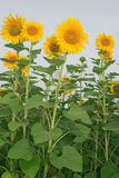 Sunflower. Beautiful sunflower crop under blue sky stock photography