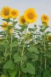 Sunflower. Beautiful sunflower crop under blue sky Stock Photography