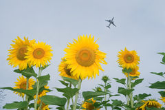 Sunflower. Beautiful sunflower crop under blue sky stock photo