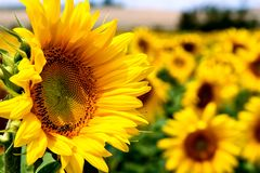 Sunflower. Standing up in a field Royalty Free Stock Images