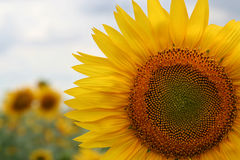 Sunflower. On field of s Royalty Free Stock Photography