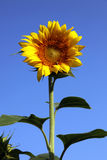 SUNFLOWER. On a sunny day Stock Photos