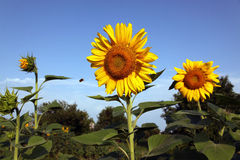 SUNFLOWER. In the solar morning against the dark blue sky Stock Photo