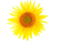 Sunflower. Close up isolated on white Royalty Free Stock Photography