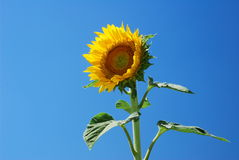 The sunflower Royalty Free Stock Image