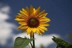 Sunflower. On a sunny day royalty free stock images