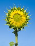 Sunflower. Stock Photo